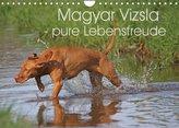 Magyar Vizsla - pure Lebensfreude (Wandkalender 2022 DIN A4 quer)