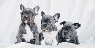Dětská osuška - French Bulldogs